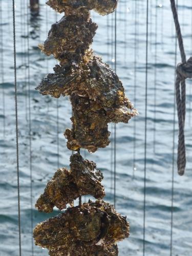 Bouzigue,Thau,huîtres,moules