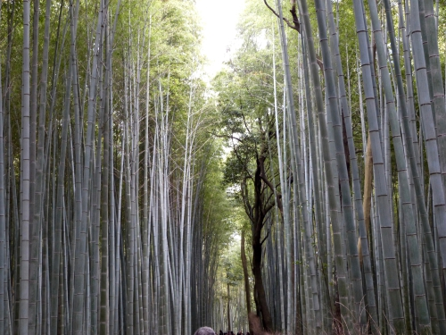 Arashiyama,forêt, bambous